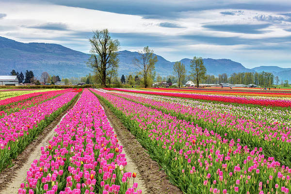 Photograph - Tulip Festival In British Columbia by Pierre Leclerc Photography