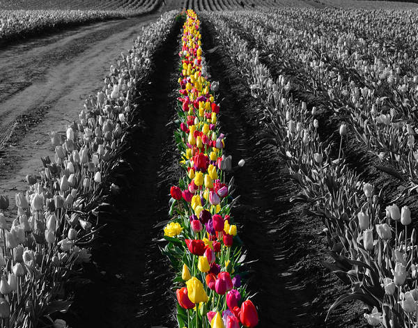 Wall Art - Photograph - Tulip Field by Bonnie Bruno