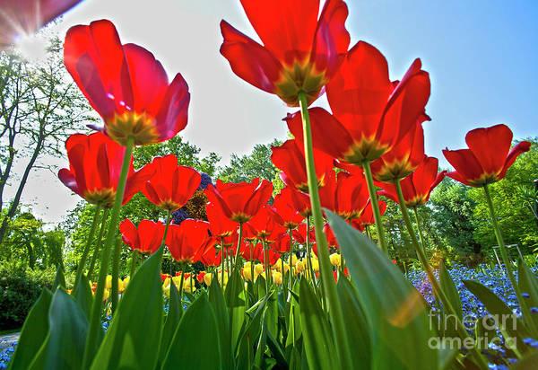 Photograph - Tulip Field  On Island Mainau by Heiko Koehrer-Wagner