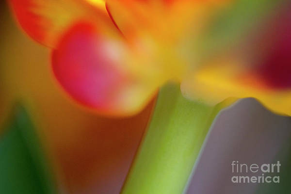 Photograph - Tulip Flower Abstract by Heiko Koehrer-Wagner