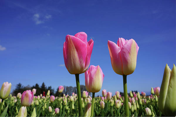 Wall Art - Photograph - Tulip Flower Meadow Spring Art Prints by Baslee Troutman Floral Art
