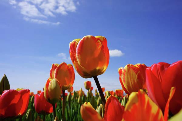 Wall Art - Photograph - Tulip Flowers Garden Blue Sky Art Prints by Baslee Troutman Nature Art