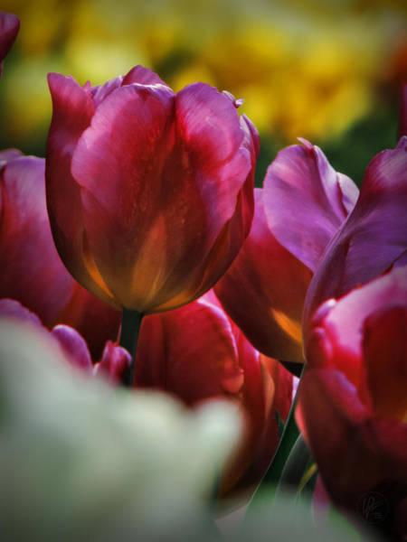 Photograph - Tulip Garden Macro 001 by Lance Vaughn