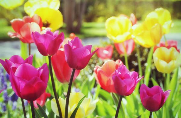 Photograph - Tulip Garden by Trina  Ansel