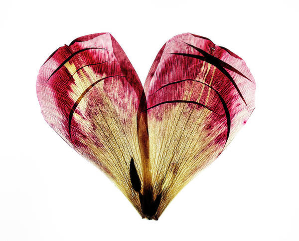 Pair Photograph - Tulip Heart by Nailia Schwarz