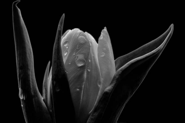 Calla Lillies Photograph - Tulip In Black And White Creative Edit by David Haskett II