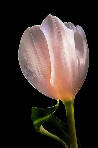 Tulip In Light Art Print
