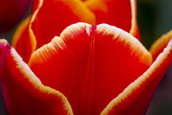 Photograph - Tulip In Orange by Teri Virbickis
