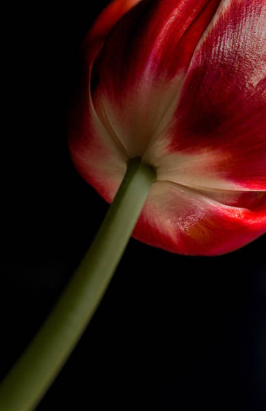 Photograph - Tulip In Window Light by Bob Cournoyer