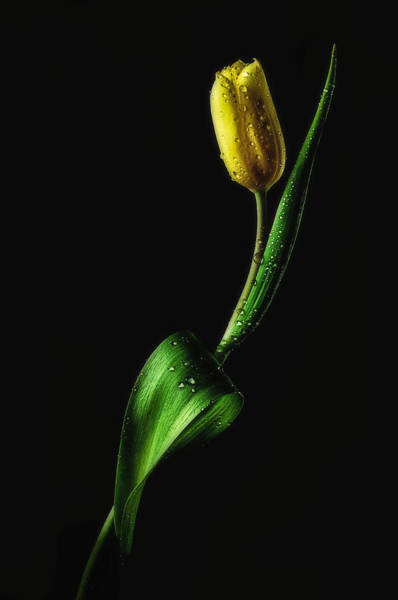 Fresh Photograph - Tulip by Joe Conroy