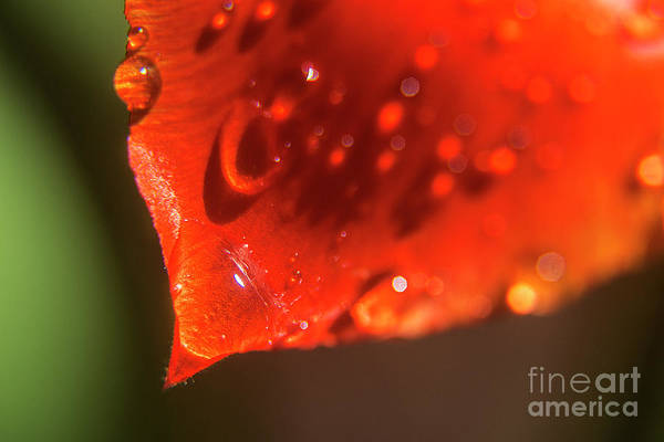 Photograph - Tulip Leaf Droplets-2209 by Steve Somerville