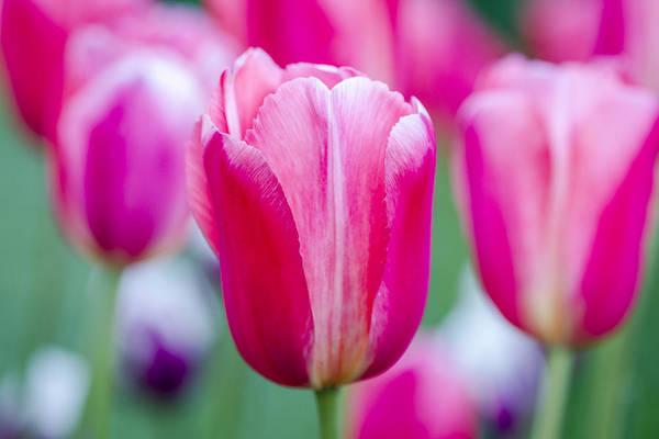 Photograph - Tulip Love by Teri Virbickis