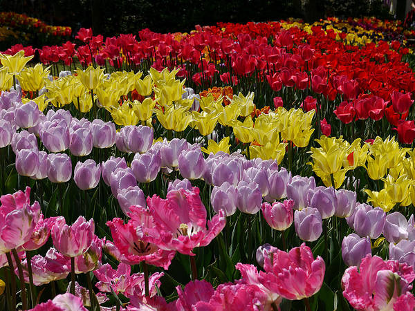 Photograph - Tulip Mania by Richard Reeve