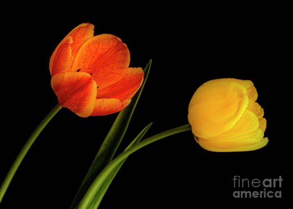Photograph - Tulip Pair by Scott Kemper