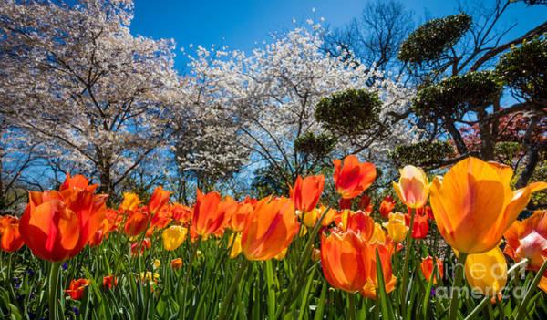 Arboretums Photograph - Tulip Panorama by Inge Johnsson