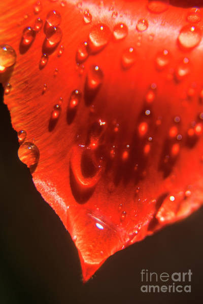Photograph - Tulip Petals After A Rain-2197 by Steve Somerville