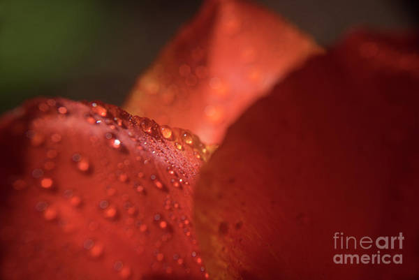 Photograph - Tulip Raindrops-3786 by Steve Somerville