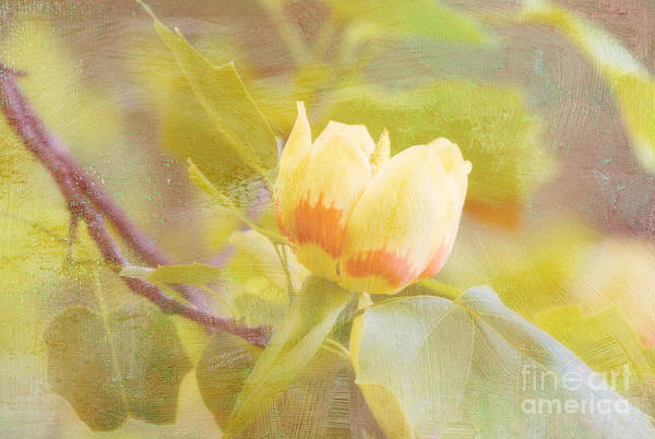 Photograph - Tulip Poplar by Patricia Montgomery