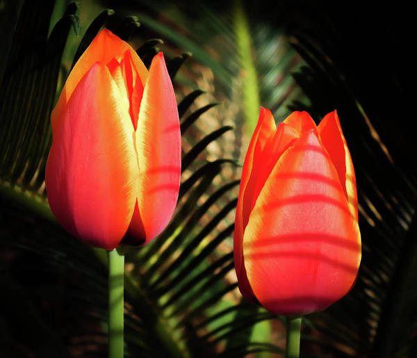 Sneak Photograph - Tulip Shadows by Karen Wiles