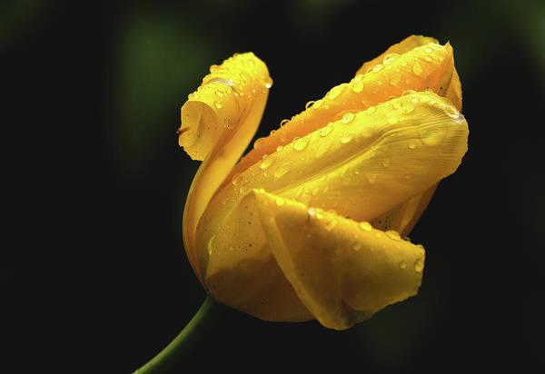 Photograph - Tulip by Sheldon Bilsker