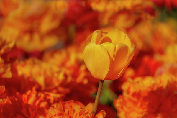 Photograph - Tulip Standout by Susan Candelario
