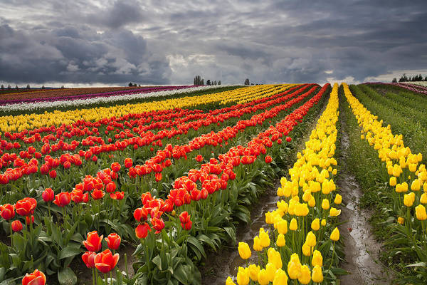 Wall Art - Photograph - Tulip Storm by Mike  Dawson