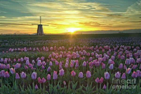 Photograph - Tulip Sunrise by Craig Leaper