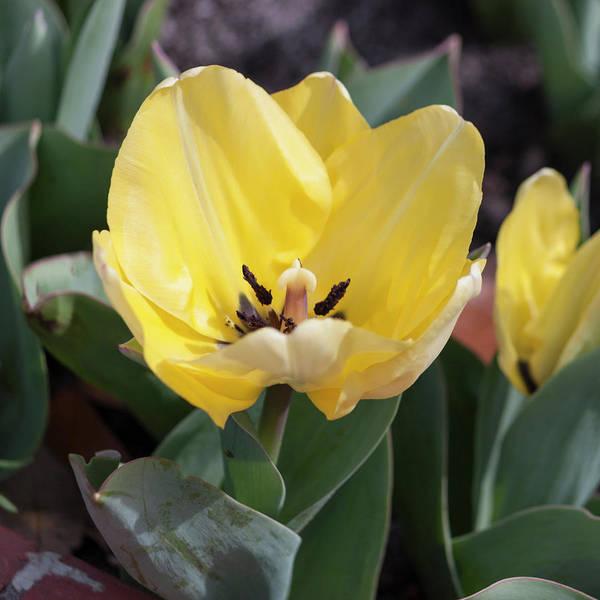 Wall Art - Photograph - Tulip Sunshine by Suzanne Gaff