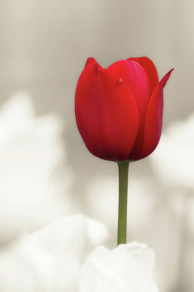 Wall Art - Photograph - Tulip Time 21 by Heather Kenward