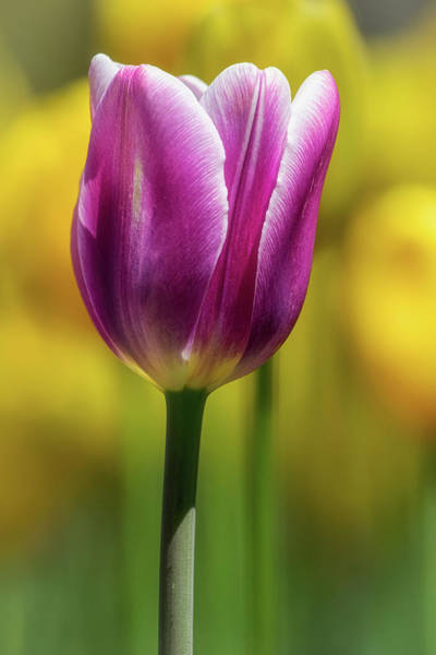 Photograph - Tulip Time 34 by Heather Kenward