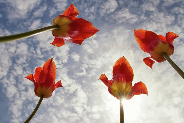 Wall Art - Photograph - Tulip Time 9 by Heather Kenward