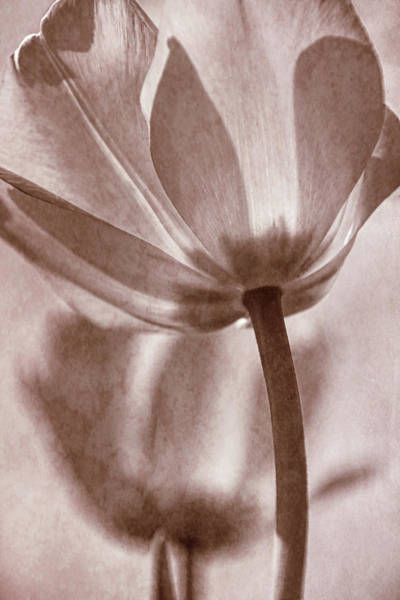 Photograph - Tulip Transparency I by Leda Robertson