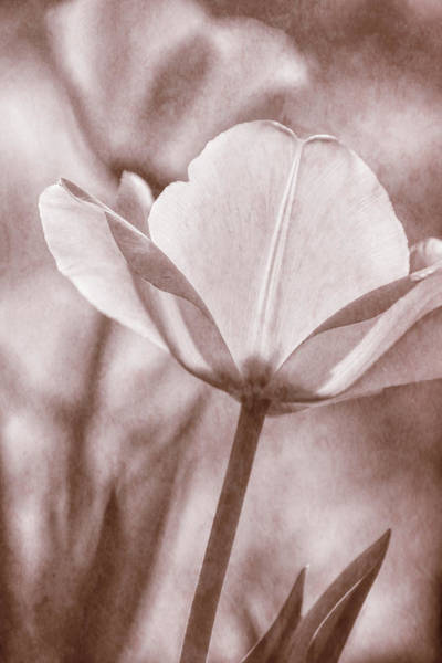 Photograph - Tulip Transparency IIi by Leda Robertson
