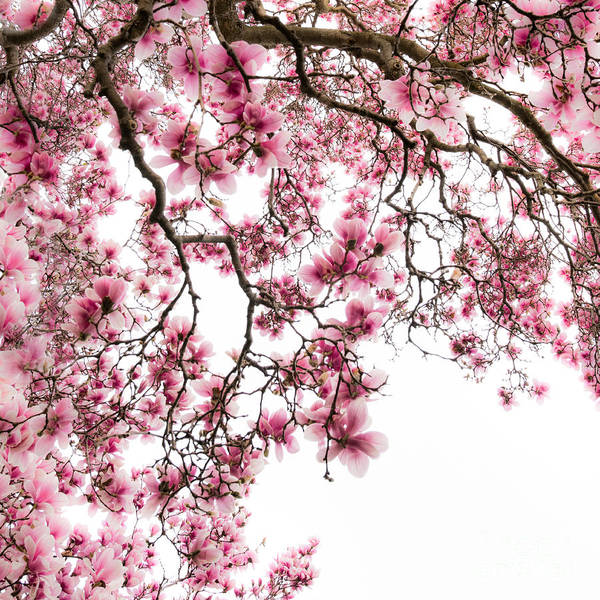 Photograph - Tulip Tree Blooming by Michael Arend