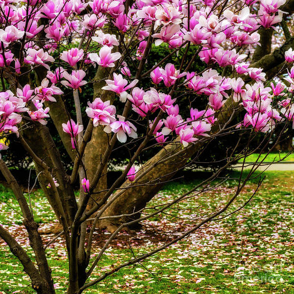 Photograph - Tulip Tree In Dc by Thomas R Fletcher