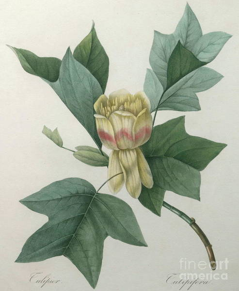 Wall Art - Painting - Tulip Tree by Pierre Joseph Redoute