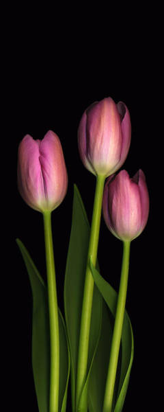 Photograph - Tulip Trio by Deborah J Humphries