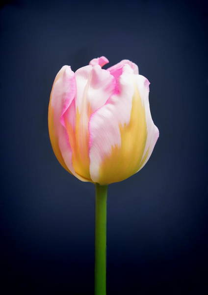 Photograph - Tulip Triumph - 2 by Paul Gulliver