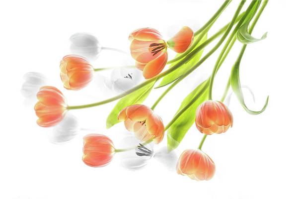 A Creative Presentation Of A Bouquet Of Tulips. Art Print