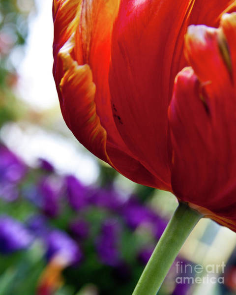 Photograph - Tulip View by Ana V Ramirez