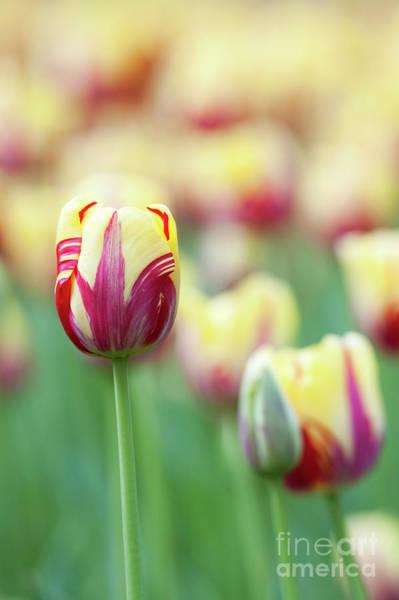 Keukenhof Wall Art - Photograph - Tulip World Expression by Tim Gainey