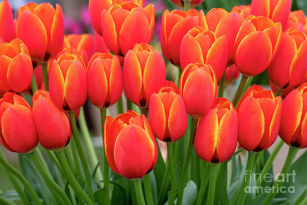 Wall Art - Photograph - Tulip Worlds Favourite by Tim Gainey