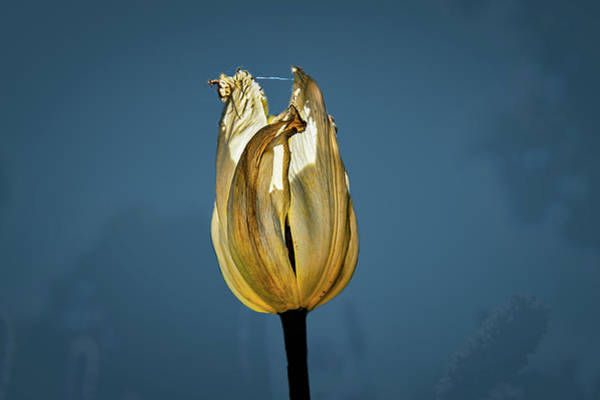 Photograph - Tulip Yellow On Blue #h6 by Leif Sohlman