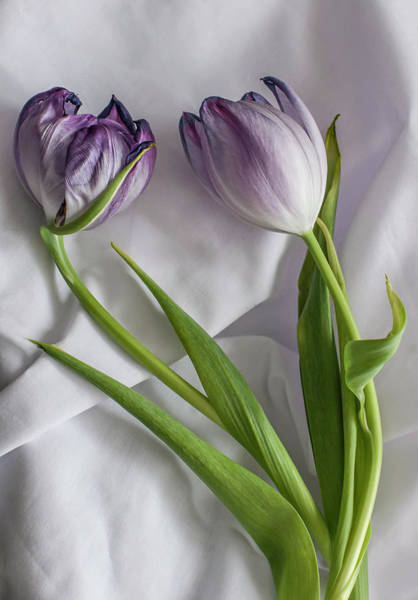 Allegory Photograph - Tulipa And Her Lover Elijah by Maggie Terlecki