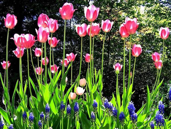 Photograph - Tulipfest 10 by Will Borden