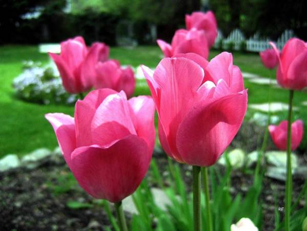 Photograph - Tulipfest 3 by Will Borden