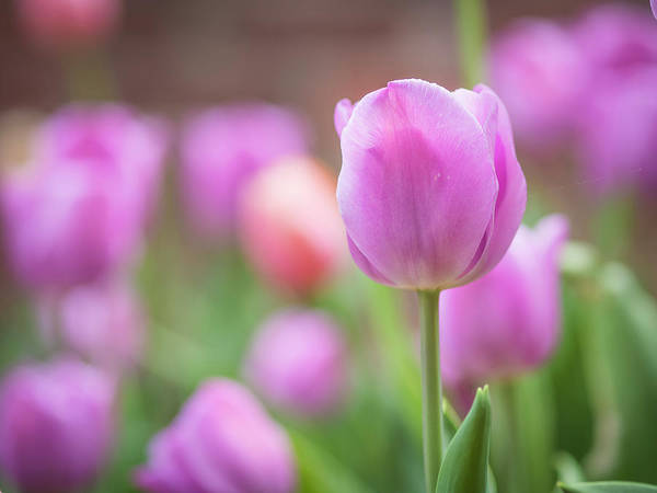 Photograph - Tulips #1 by Van Sutherland