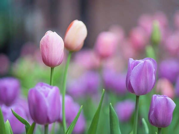 Photograph - Tulips #2 by Van Sutherland
