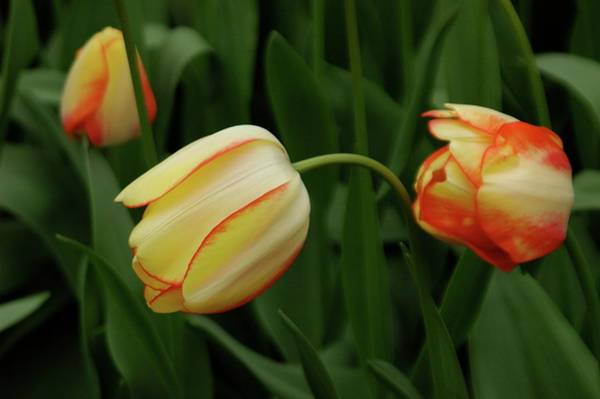 Photograph - Nodding Tulips by Adele Aron Greenspun