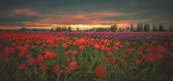 Vernon County Photograph - Tulips Aglow by Don Schwartz
